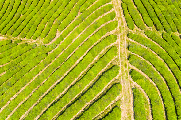 tea plantation texture background - Stock Photo - Images