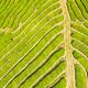tea plantation texture background - PhotoDune Item for Sale