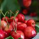 close up cherries - PhotoDune Item for Sale