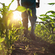 Low angle view at farmer feet in rubber boots walking along maize stalks - PhotoDune Item for Sale