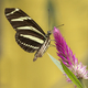 Zebra Longwing Buttefly - PhotoDune Item for Sale