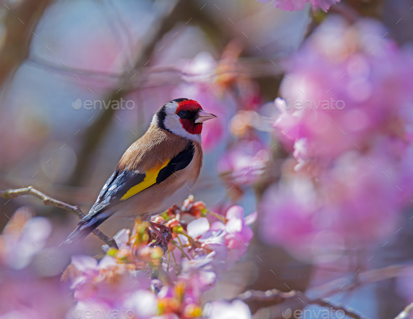 European goldfinch sitting on a flowering cherry tree - Stock Photo - Images