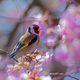 European goldfinch sitting on a flowering cherry tree - PhotoDune Item for Sale