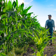 Caucasian calm male maize grower in overalls walks along corn field with tablet pc in his hands - PhotoDune Item for Sale