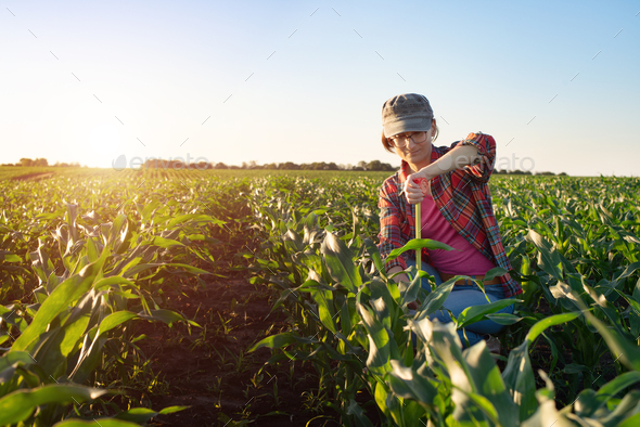 Middle age female caucasian maize farmer with tape measure kneeled for inspection corn stalks - Stock Photo - Images