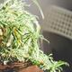 The Spider Plant (Chlorophytum) on Table. - PhotoDune Item for Sale