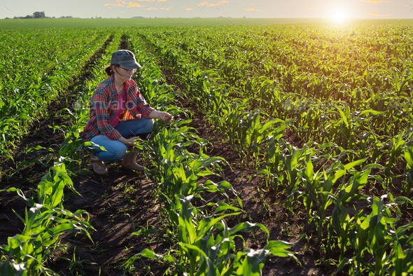 Middle age female caucasian maize farmer with tablet computer kneeled for inspection stalks at field - Stock Photo - Images