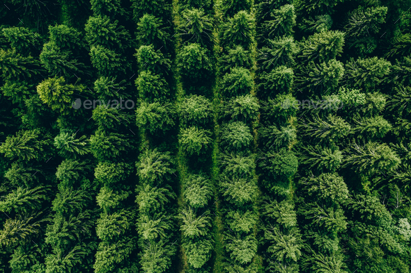 Aerial view of green summer forest with spruces - Stock Photo - Images