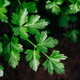 Parsley. Organic parsley grows in the garden - PhotoDune Item for Sale