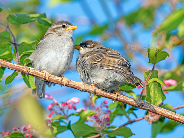 Sparrow sitting on the twig of a bush - Stock Photo - Images