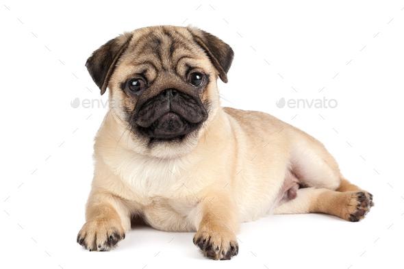 Pug dog isolated on a white background - Stock Photo - Images