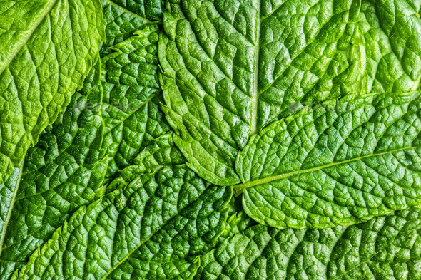 Green mint leaves. - Stock Photo - Images
