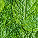 Green mint leaves. - PhotoDune Item for Sale