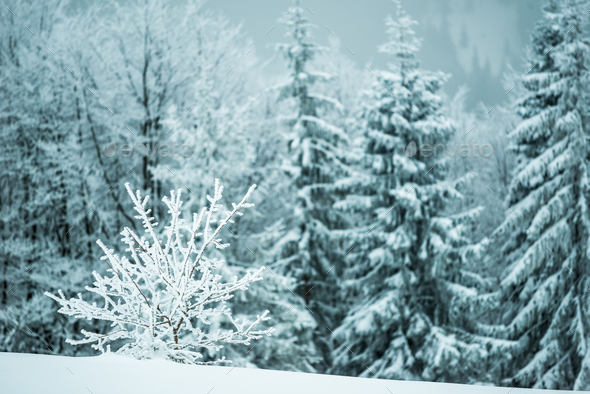 Small fragile tree covered with hoarfrost - Stock Photo - Images