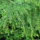 Larch tree branch - PhotoDune Item for Sale