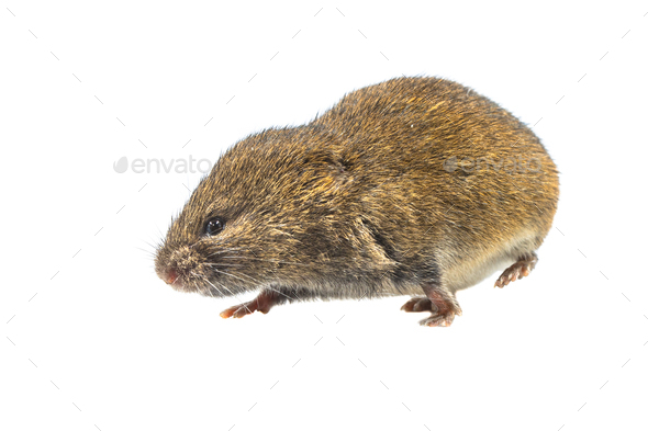 Field vole walking on white background - Stock Photo - Images