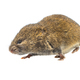Field vole walking on white background - PhotoDune Item for Sale