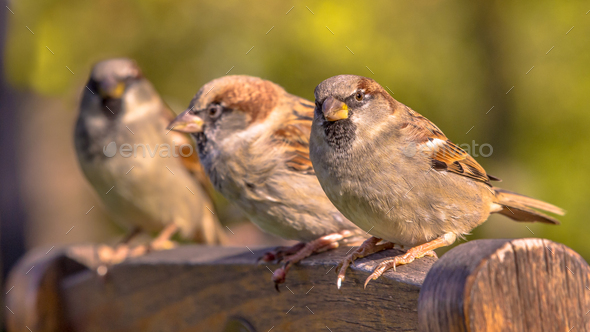Group of House Sparrow - Stock Photo - Images