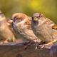 Group of House Sparrow - PhotoDune Item for Sale
