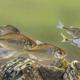 European bitterling natural environment shoal - PhotoDune Item for Sale