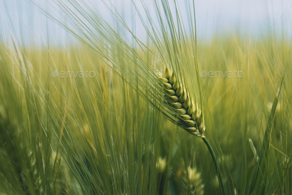 Unripe green wheat ears in cultivated plantation field - Stock Photo - Images