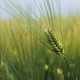 Unripe green wheat ears in cultivated plantation field - PhotoDune Item for Sale