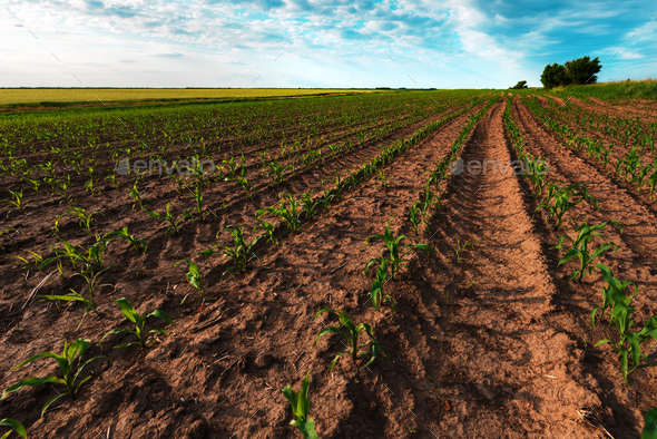 Young green corn crop plantation in late afternoon - Stock Photo - Images