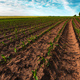 Young green corn crop plantation in late afternoon - PhotoDune Item for Sale
