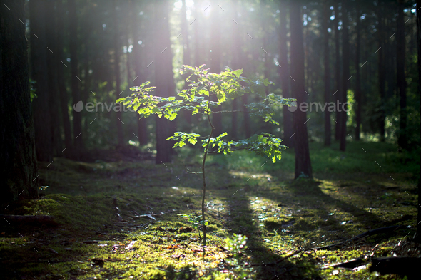 Young oak tree growing in the forest - Stock Photo - Images