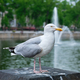Seagull sitting near Hofvijver lake with fountain. The Haugue, the Netherlands - PhotoDune Item for Sale