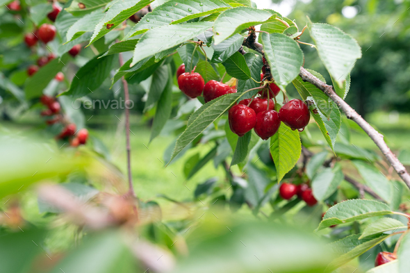 Cherry tree with ripe cherries in the garden - Stock Photo - Images