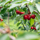 Cherry tree with ripe cherries in the garden - PhotoDune Item for Sale