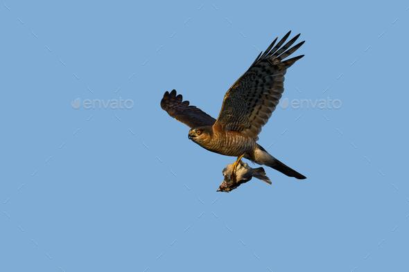 Eurasian sparrowhawk (Accipiter nisus) - Stock Photo - Images