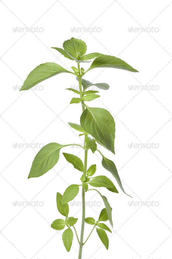 Sprig of fresh lemon basil - Stock Photo - Images