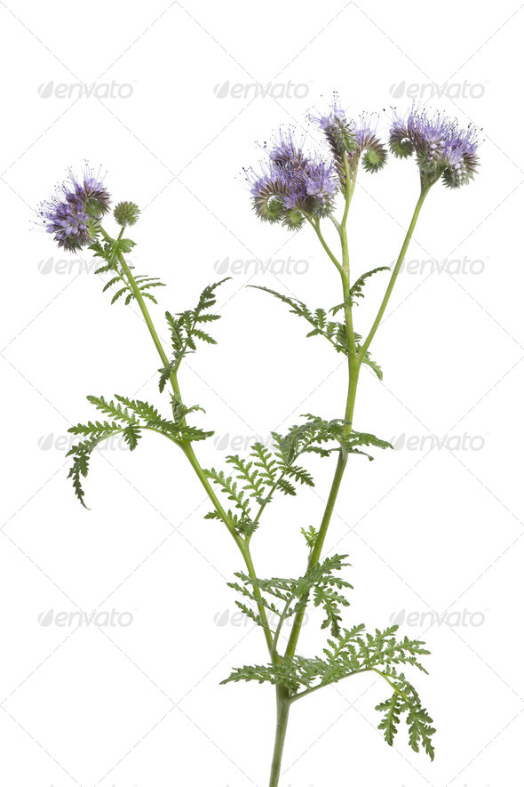 Blooming scorpion weed - Stock Photo - Images