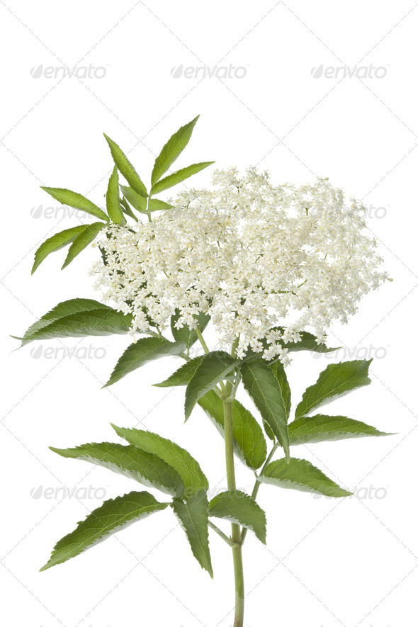Elderberry flower and leaves - Stock Photo - Images