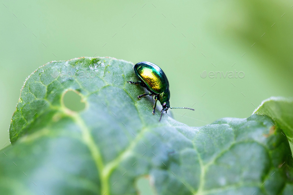 Mint leaf beetle, Chrysolina herbacea - Stock Photo - Images