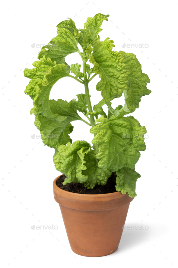 Ceramic plant pot with Basil Green Ruffles plant on white background - Stock Photo - Images