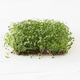 Fresh basil sprouts on linen mat on white wood with copy space. Basil sprouter, microgreen - PhotoDune Item for Sale
