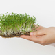 Hands holding fresh watercress salad sprouts on white wall background. Watercress on linen mat - PhotoDune Item for Sale