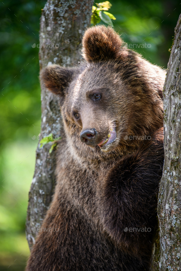 Wild Brown Bear (Ursus Arctos) on tree in the summer forest. Wildlife scene - Stock Photo - Images