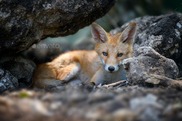 Red fox, vulpes vulpes in forest. Close wild predators in natural environment - Stock Photo - Images