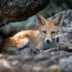 Red fox, vulpes vulpes in forest. Close wild predators in natural environment - PhotoDune Item for Sale