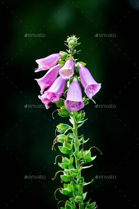 Digitalis purpurea flower - Stock Photo - Images