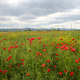 Rural landscape in Pavia province between Ticino and Po rivers. Poppies - PhotoDune Item for Sale