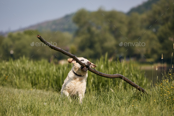 Happy dog running with long stick in mouth - Stock Photo - Images