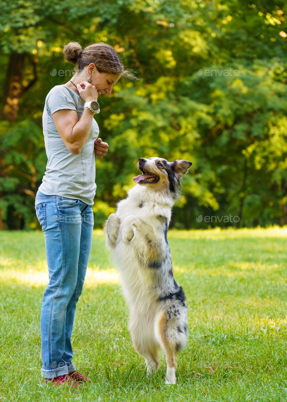 Woman teaching adorable smart dog Australian Shepherd new commands during obedience training - Stock Photo - Images
