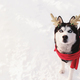 Christmas husky dog in red scarf, deer horns, Santa attire in snowy forest - PhotoDune Item for Sale