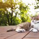 Beautiful tricolor cat lies on a brown wooden terrace - PhotoDune Item for Sale