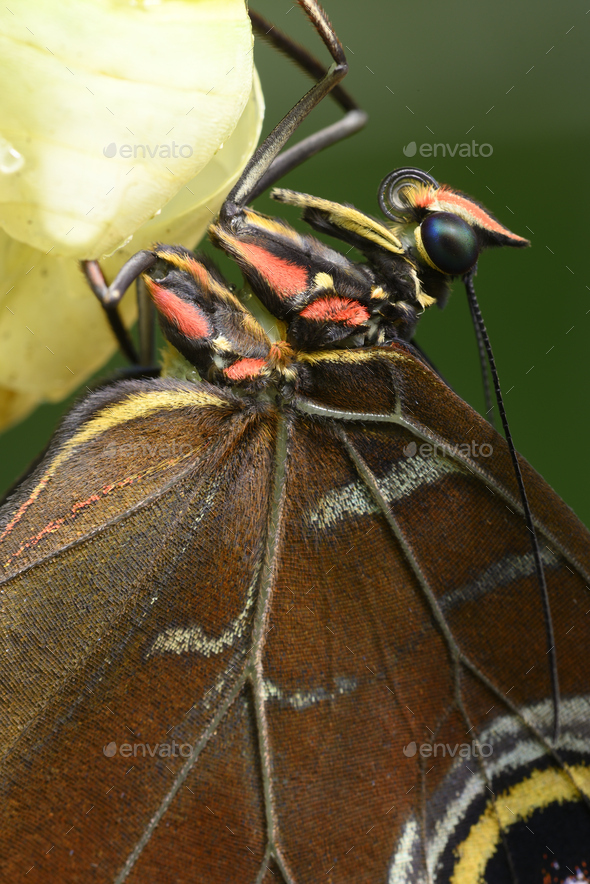 Close up of tropical Morpho butterfly coming out of chrysalis - Stock Photo - Images